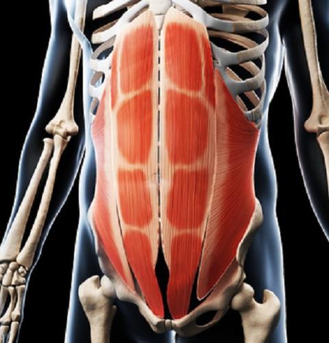 腹筋のインナーマッスルは腹横筋と腹斜筋