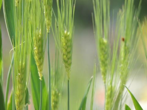 悪玉コレステロールを下げる「大麦」の健康効果