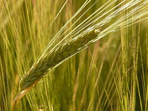 大麦が悪玉コレステロールを下げるメカニズム