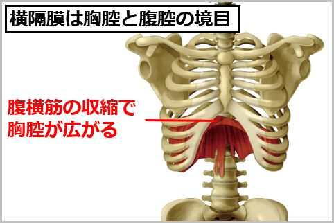 腹式呼吸の効果は横隔膜による自律神経の活性化