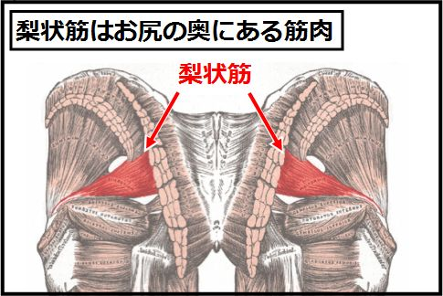 梨状筋はお尻の奥にある筋肉