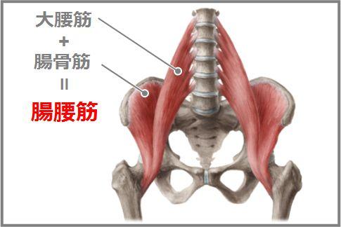 腸腰筋を構成する大腰筋と腸骨筋の働きとは