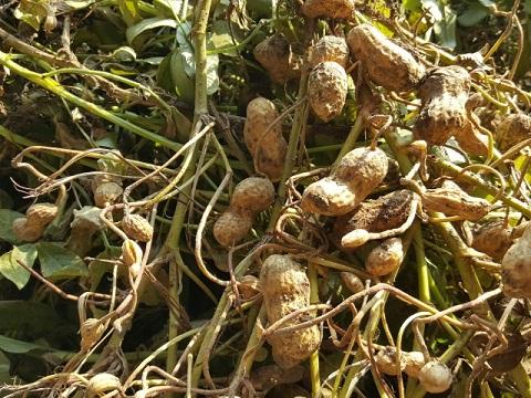 ピーナッツ効果は地中で実が成る生態に秘密アリ