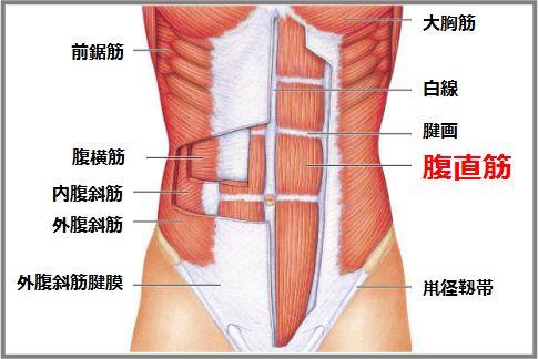 シックスパックは腹直筋が形作る