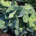 抗酸化作用なら野菜はハウス栽培でなく露地栽培